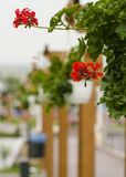 Nice floral decoration (Pelargonium). In the park stock photo
