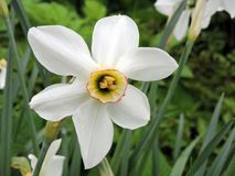 Beautiful white narcissus in garden, Lithuania. Nice flower in garden in summer Stock Images