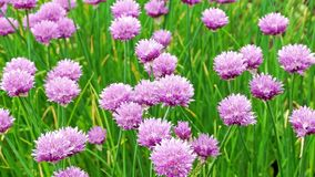 Nice flowers of natural green onion stock footage