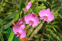 Nice flowers of orchid Stock Images