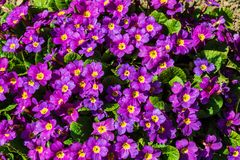 Nice  flowers; outdoors; one spring sunny day. Purple garden flowers; outdoors; one spring sunny day Stock Photo