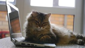 Nice fluffy cat lying on an open notebook. 1920x1080 stock footage