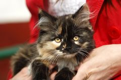 Nice fluffy kitten Royalty Free Stock Photography