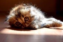 Nice fluffy kitten Stock Image