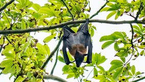 Nice flying fox hanging from a tree, Maldives. royalty free stock photography