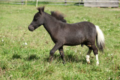 Nice foal of minihorse Stock Images