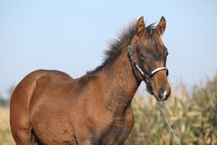 Nice foal with western halter Royalty Free Stock Photos
