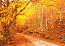 Nice forest in autumn Royalty Free Stock Photo