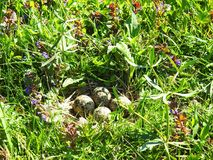 Beautiful bird nest with eggs, Lithuania Royalty Free Stock Image