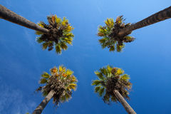 Nice four palm trees in the blue sky. Date palm trees.Perspective view from floor high up Stock Photo