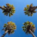 Nice four palm trees in the blue sky. Date palm trees.Perspective view from floor high up Royalty Free Stock Images
