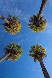 Nice four palm trees in the blue sky. Date palm trees.Perspective view from floor high up Stock Image