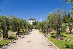 Nice, France. Old olive grove Stock Image