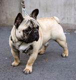Nice French Bulldog 1 Stock Photography