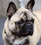 Nice French Bulldog 2 Royalty Free Stock Photo