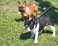 Nice french bulldogs outdoor. In spring time royalty free stock photos
