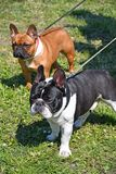 Nice french bulldogs outdoor. In spring time royalty free stock photo