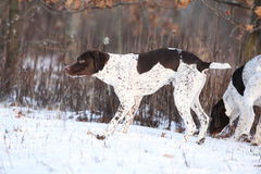 Nice French Pointing Dog moving in winter Royalty Free Stock Images