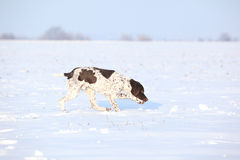 Nice French Pointing Dog moving in winter Stock Photo