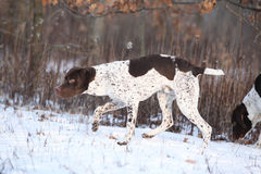Nice French Pointing Dog moving in winter Stock Image