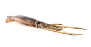 Nice fresh squid Royalty Free Stock Photography
