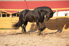 Nice friesian horse working in paddock Stock Photos