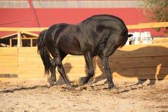 Nice friesian horse working in paddock