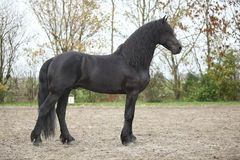Nice friesian stallion with long hair Stock Image