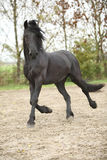 Nice friesian stallion running stock photography