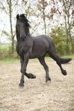 Nice friesian stallion running Stock Photography