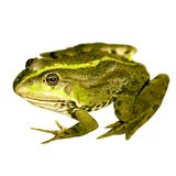 Nice frog Stock Photos