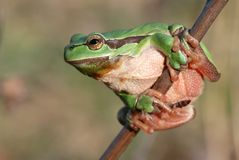 Nice frog Royalty Free Stock Photos