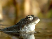 Nice frogs portrait in the forest pond. Nice frog sitting in a pond Stock Images