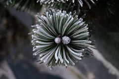 Nice frozen conifer branch. In detail view from above, dark color royalty free stock photo