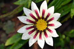 Nice gazania stock photo
