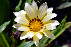 Nice gazania stock photos