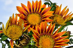 Nice gazania royalty free stock photo