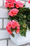 Nice geranium Stock Image