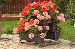 Nice geranium Stock Photo