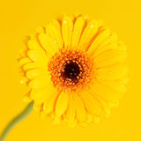 Nice gerbera Royalty Free Stock Images
