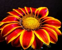 Nice gerbera flower. Beautiful red and yellow flower on the dark background Royalty Free Stock Images