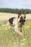 Nice german shepherd dog running Royalty Free Stock Photos
