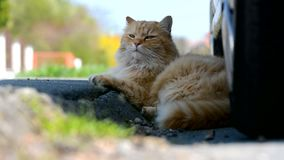 Nice ginger Siberian cat lying in the street. stock video footage
