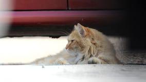 Nice ginger Siberian cat lying in the street. stock video