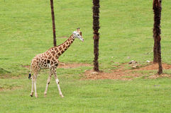 Nice giraffe on the green grass. And palms Stock Image