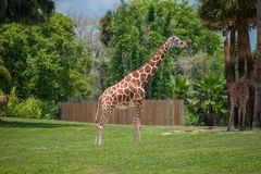 Free Nice Giraffe On Green Meadow At Busch Gardens 2 Stock Photography - 153923412