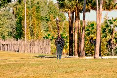 Nice giraffe with shocking height on green meadow at Bush Gardens Tampa Bay stock images