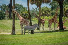 Free Nice Giraffes And Zebra On Green Meadow At Busch Gardens 3 Royalty Free Stock Image - 153923446
