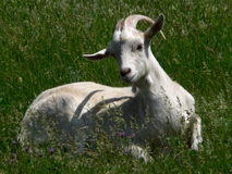 Nice she-goat. Goat on meadow Royalty Free Stock Photography