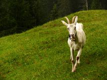 A nice goat in the green meadow stock photo